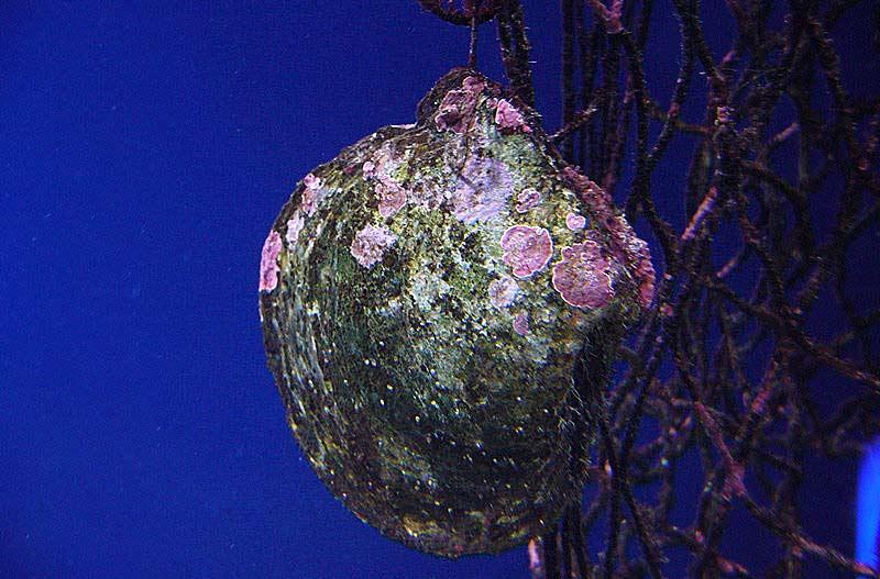 Ostryga z perłami