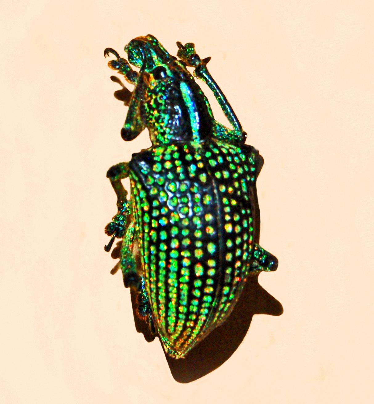 diamentowy chrząszcz